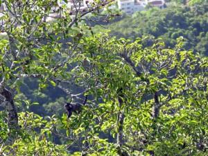 20120308-2149-08-los-monos-de-gibraltar-del-pan-de-azucar