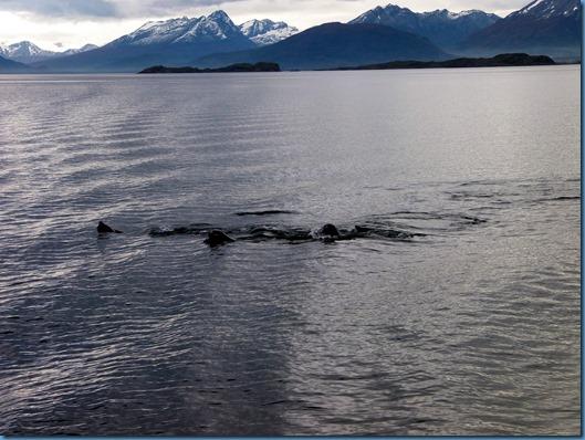 02 leones marinos en el Beagle